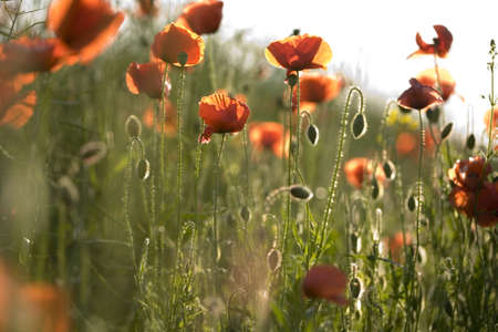 herbage: Red poppies