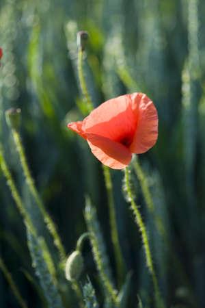 herbage: Poppy