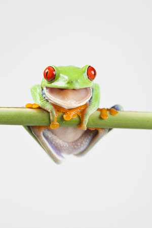 lean over: Tree frog  Stock Photo