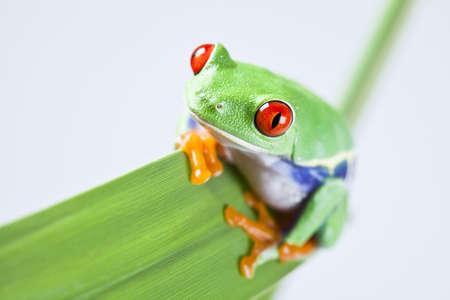 Red eyed leaf frog Stock Photo - 5091475