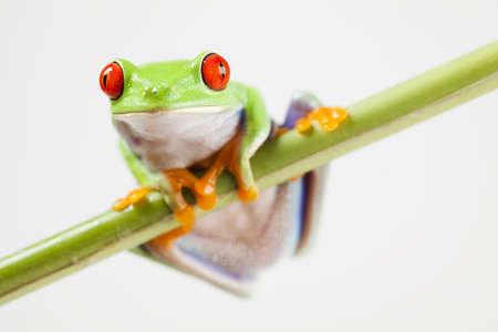 red eye frog: Tree frog Stock Photo