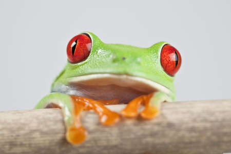 Frog - small animal red eyed photo