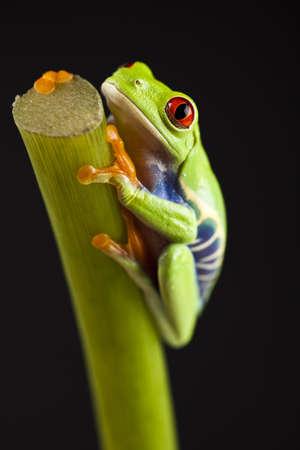 anura: Frog Foto de archivo