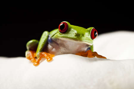 Red frog photo