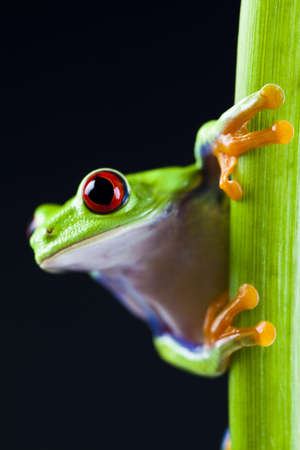 blue frog: Rana arb�rea de ojos rojos Foto de archivo