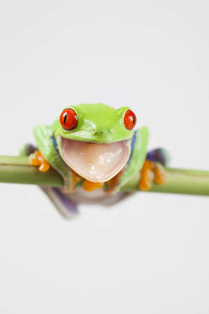 green tree frog: Crazy frog
