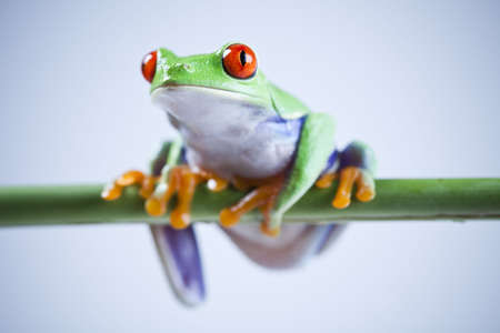 red frog: Animal Stock Photo