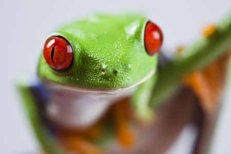 red eyed: Red eyed tree frog