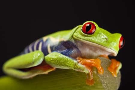 anura: Frog - peque�os animales de ojos rojos
