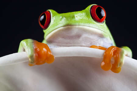 lean over: Red eye frog