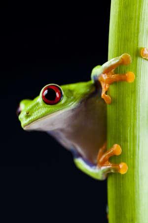 blue frog: Rana de ojos rojos