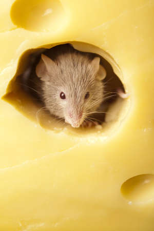 inducement: Cheese and mouse Stock Photo