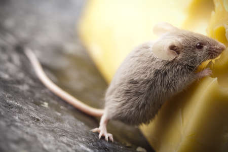 inducement: Rat