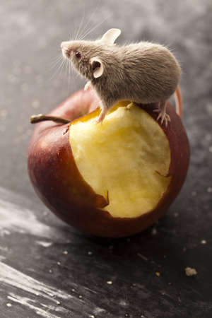 inducement: Little animal - mouse Stock Photo