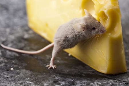 inducement: Funny mouse on the cheese Stock Photo