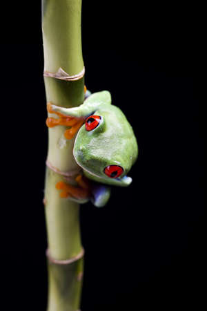 oeil rouge: Yeux rouges Grenouille