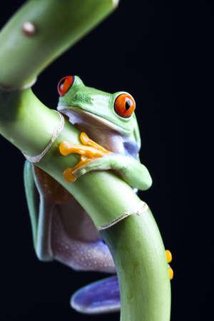 blue frog: La foto del rojo ojos rana, separado