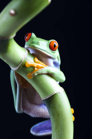 red eyed leaf frog: The photo of the red eyed tree frog, separated