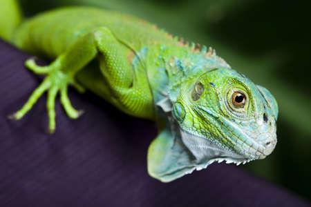 species of creeper: Lizard