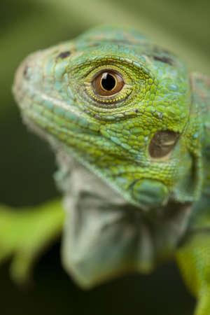 close-up on a iguana photo