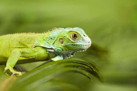 species of creeper: Iguana