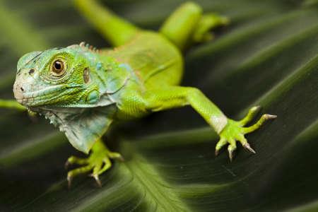 species of creeper: Lizard - iguana Stock Photo