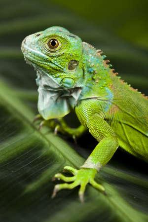Iguana as a dragon