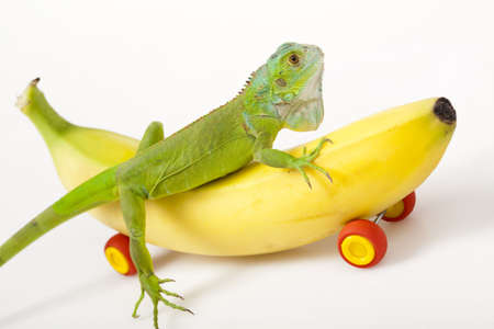 species of creeper: Crazy Iguana