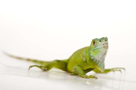 species of creeper: Iguana isolated on white background
