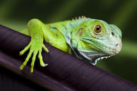 species of creeper: Iguana in the wild