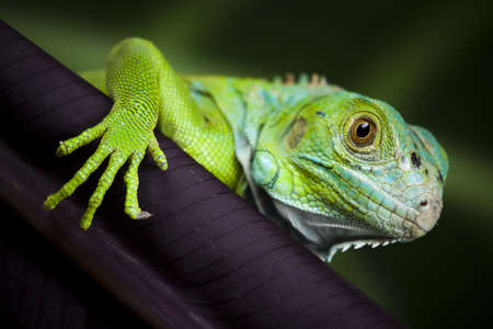 Iguana in the wild  photo