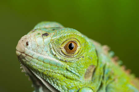 species of creeper: A picture of iguana - small dragon, lizard, gecko