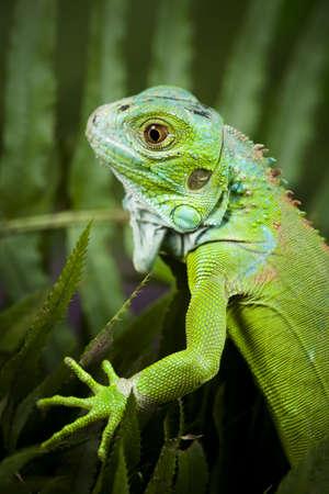 species of creeper: Dragon