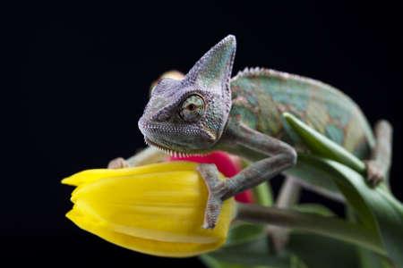 Flower on chameleon photo