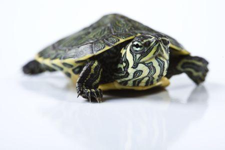 tortuga: Turtle agradable aislados en blanco