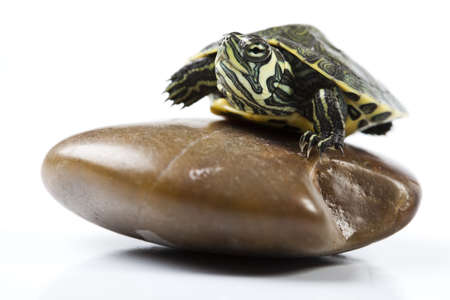 Carapace as a shield of turtle photo