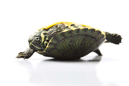 Turtle as a pet photo