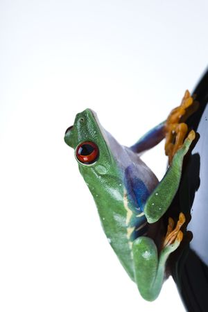 lean out: Tree frog Stock Photo