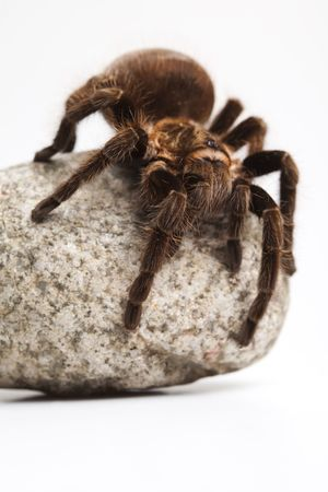 Tarantula on white background photo