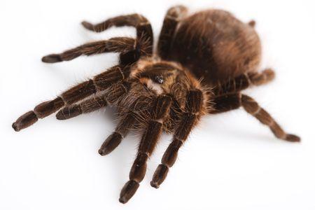 Big Tarantula  photo