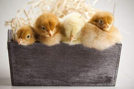 Cute little chicks Stock Photo - 6539785