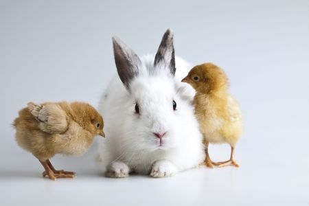 Happy Easter. Chickens in bunny Stock Photo - 6540391