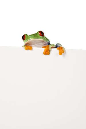big eye: Frame animal, green frog