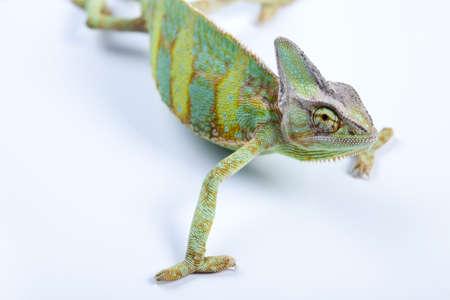 Chameleon isolated on white   Banco de Imagens