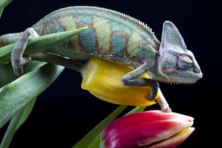 eidechse: Tulpe und Chameleon