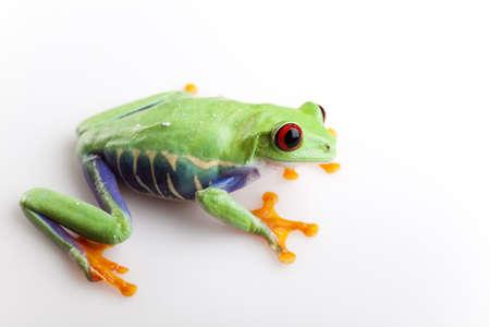 anura: Animal Foto de archivo