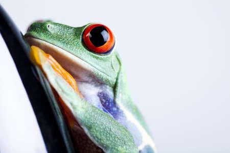 oeil rouge: Les yeux rouges Grenouille  Banque d'images