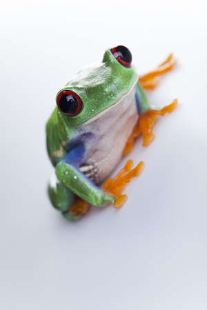 Small animal red eyed frog photo