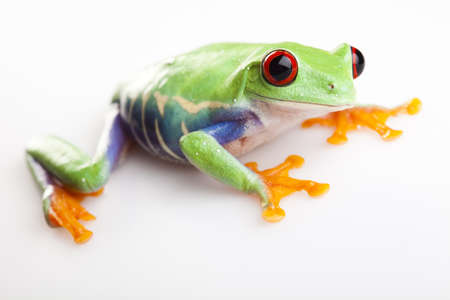 red eyed leaf frog: Frog - small animal red eyed