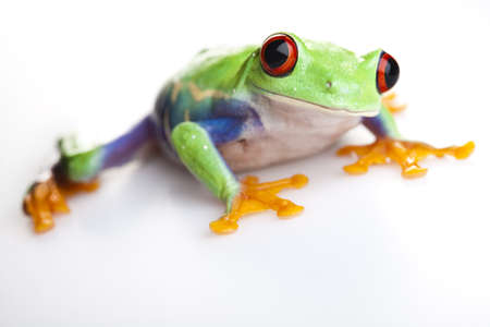 red eyed leaf frog: Small frog